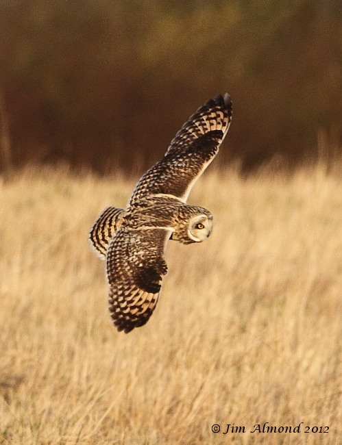 Short eared Owl flight upperwing Northants 14 1 12 IMG_7159