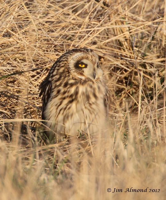 Short eared Owl on ground close up Northants 14 1 12  IMG_6976