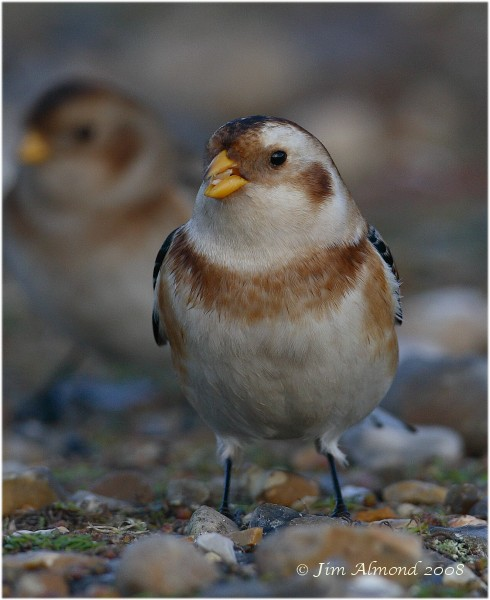 Snow Bunting Salthouse 5 1 08 IMG_6464