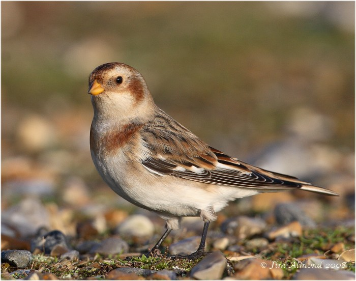 Snow Bunting male 5 1 08 IMG_6304