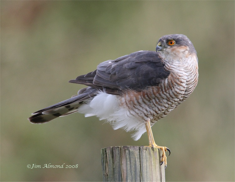Sparrowhawk male Dawlish Warren 3 9 08 IMG_0402