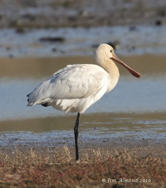Spoonbill juv Cley East Bank 10 10 10  IMG_1979