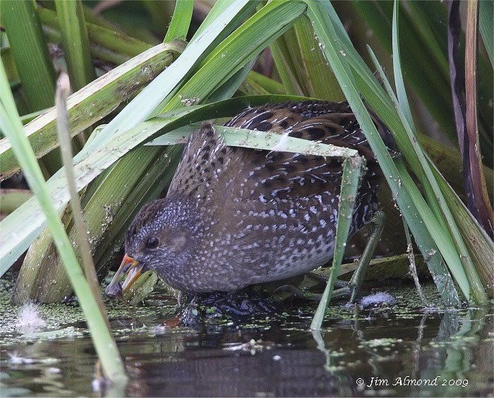Spotted Crake with fish Greylake 16 9 09  IMG_3612