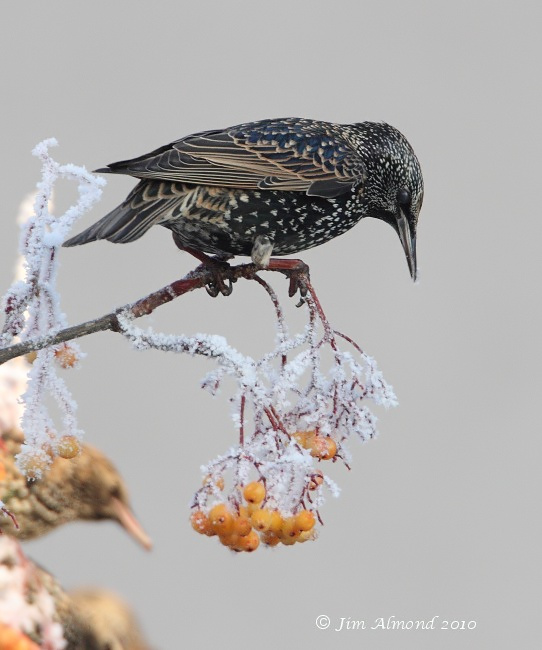 Starling on berries Newport 7 12 10 IMG_7586
