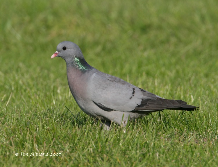 Stock Dove The Rea  1 6 07 IMG_9382