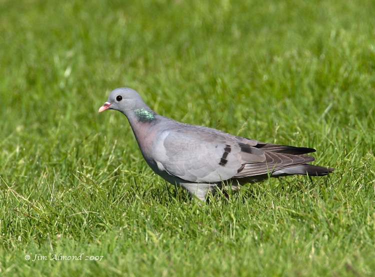 Stock Dove The Rea 1 6 07  IMG_9307
