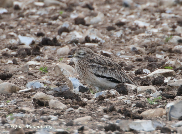 Stone Curlew asleep Norfolk 26 9 11 IMG_1576