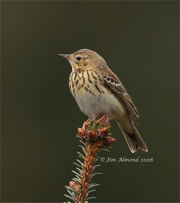 Tree Pipit Black Hill 26 4 08 IMG_1111