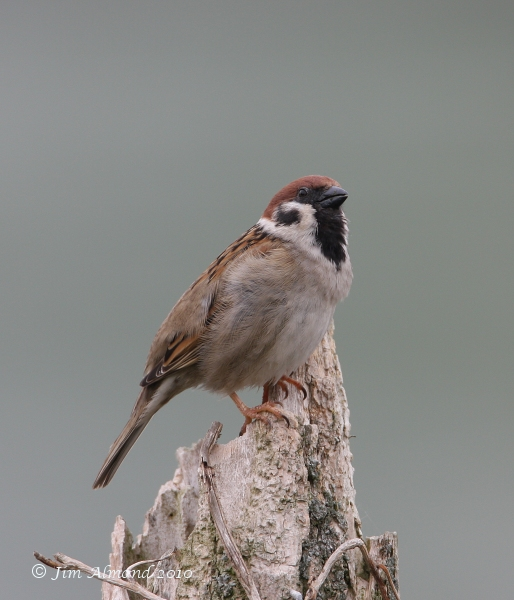 Tree Sparrow VP 10 5 08 IMG_2838