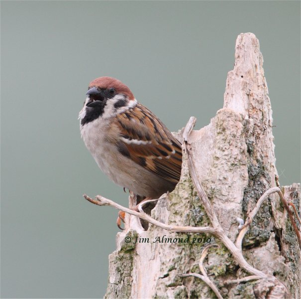Tree Sparrow VP 10 5 09