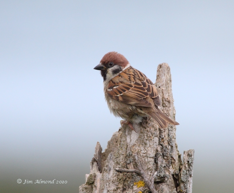 Tree Sparrow VP 15 6 09 IMG_6603