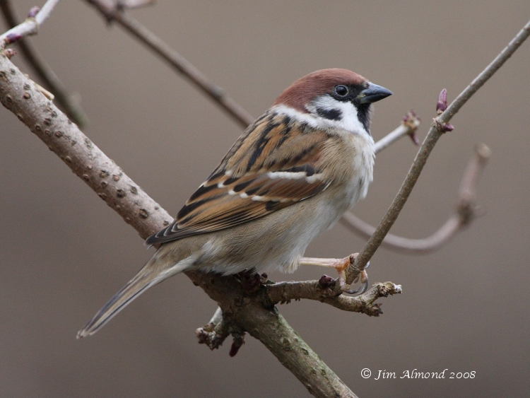 Tree Sparrow VP IMG_0201