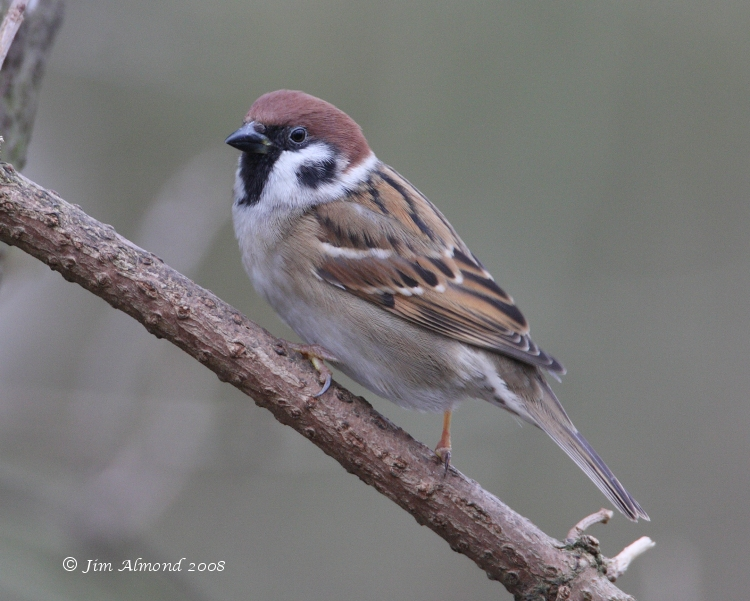 Tree Sparrow VP IMG_0286