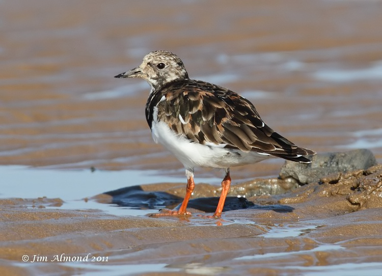 Turnstone looking back Titchwell 30 9 11  IMG_5930