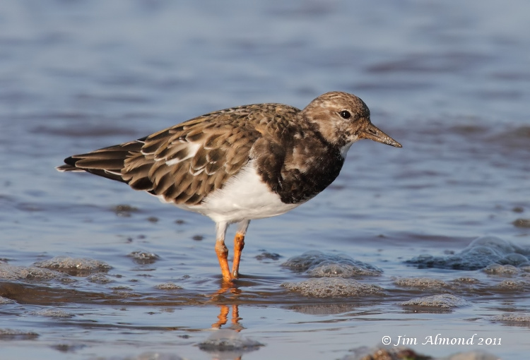 Turnstone stood in sea Titchwell IMG_3200
