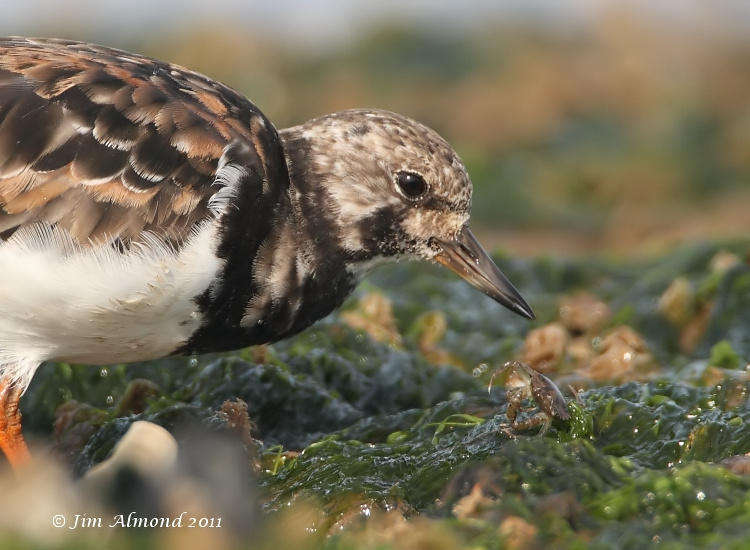 Blog Turnstone with tiny crab Titchwell 1 10 11  IMG_6418_filtered