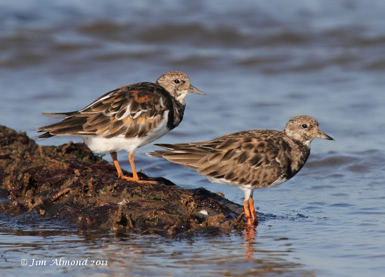 Turnstone x 2 posing nicely Titchwell IMG_3167