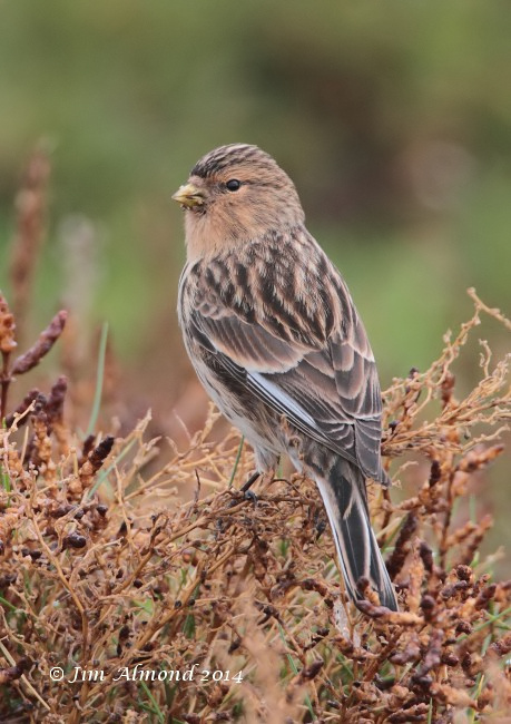 Twite rear side on cu Salthouse 9 11 14  IMG_2078