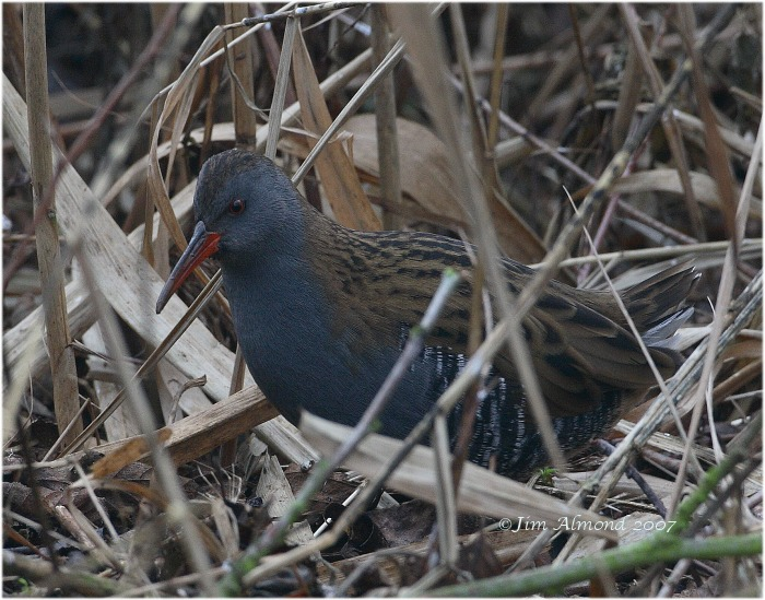 Water Rail Chelmarsh 22 12 07 IMG_4484