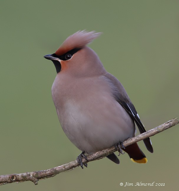 Waxwing against grass background  RSH 18 1 11 IMG_3875