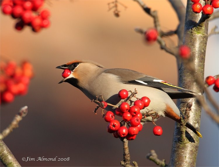 Waxwing eating berry Ellesmere 7 12 08  IMG_7310