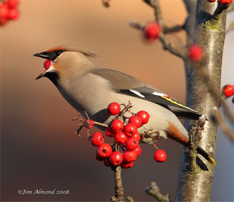 Waxwing eating berry Ellesmere 7 12 08  IMG_7313