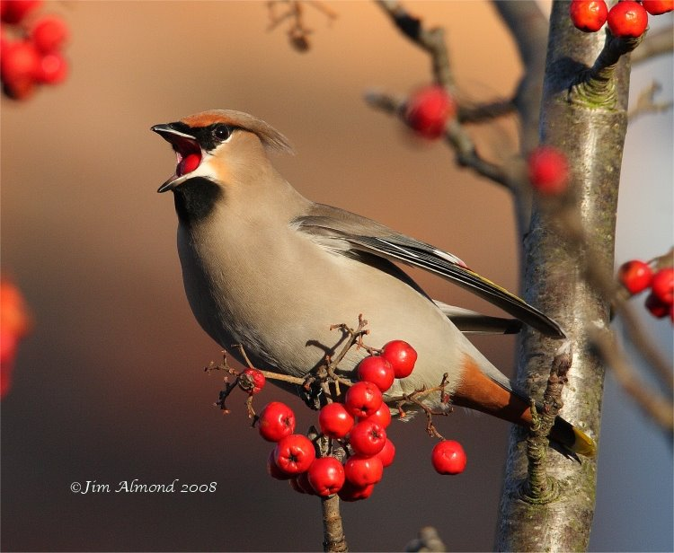 Waxwing eating berry Ellesmere 7 12 08  IMG_7326