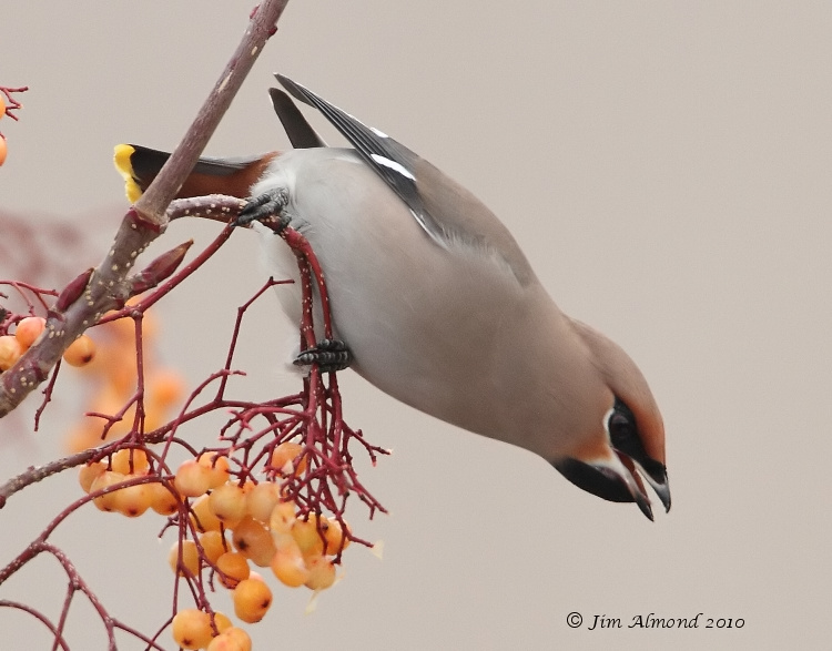 Waxwing hanging swallowing berry  Newport 5 12 10  IMG_6795
