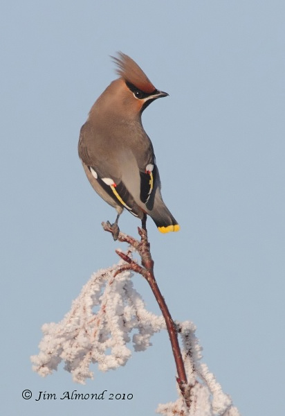 Waxwing on frosty branch Newport 7 12 10 IMG_7014
