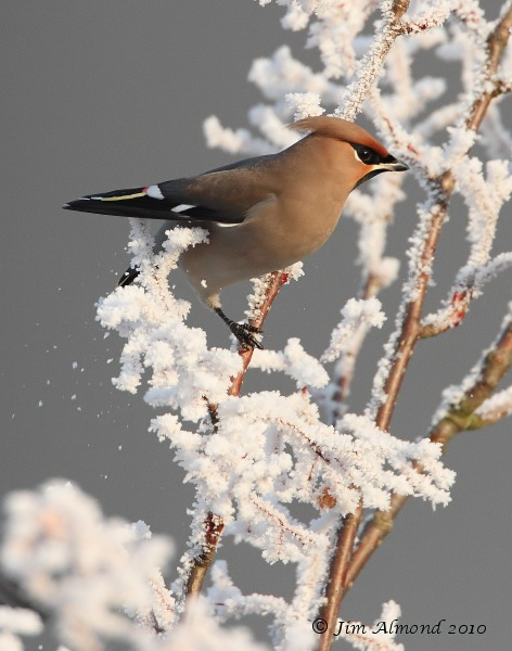 Waxwing on frosty branch ice crystals Newport 7 12 10 IMG_7281