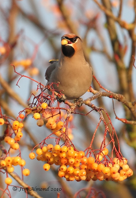 Waxwing with berry inh bill Newport 5 12 10 IMG_6899