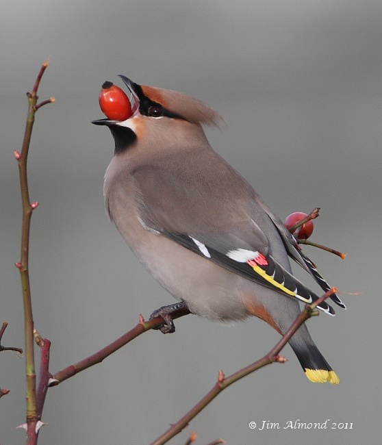 Waxwing with rose hip RSH 18 1 11 IMG_3819