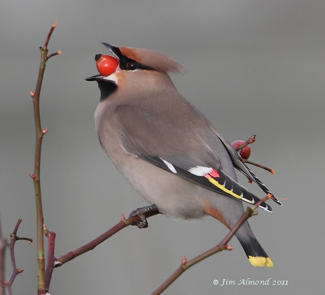 Waxwing with rose hip RSH 18 1 11 IMG_3820