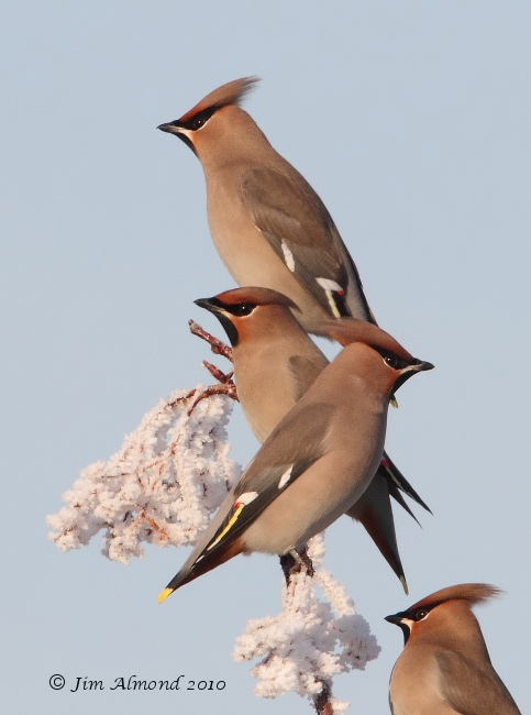 Waxwings x4 on frosty branch Newport 7 12 10 IMG_7108