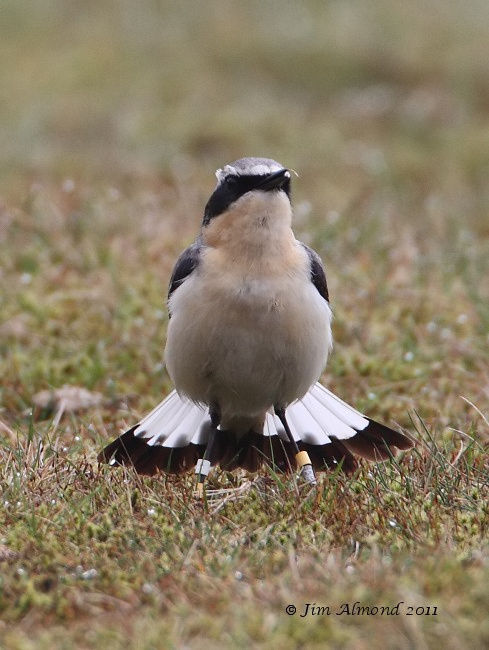 Wheatear male rear fanned tail head on Titterstone Clee 2 4 11 IMG_1019