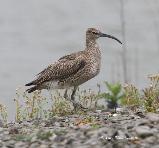 Whimbrel  VP 9 5 07 IMG_5574