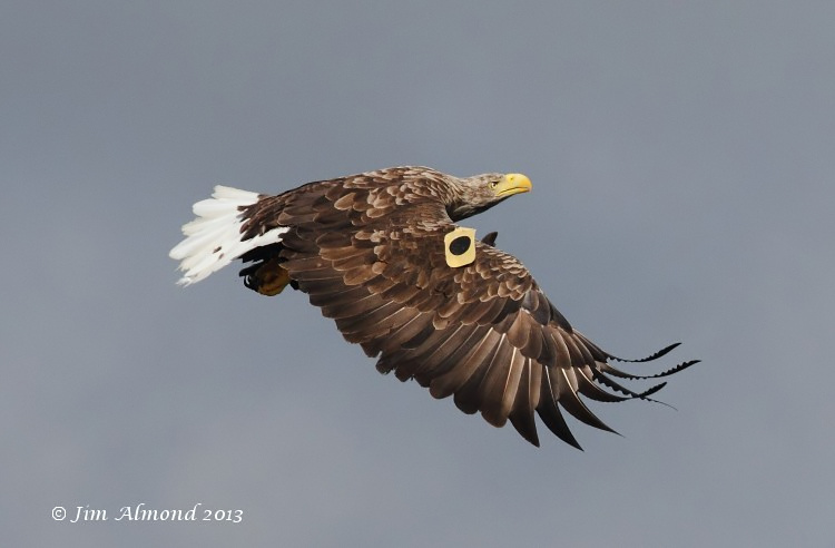 White tailed Eagle Mull tagged female circling Mull 14 8 13 IMG_3256