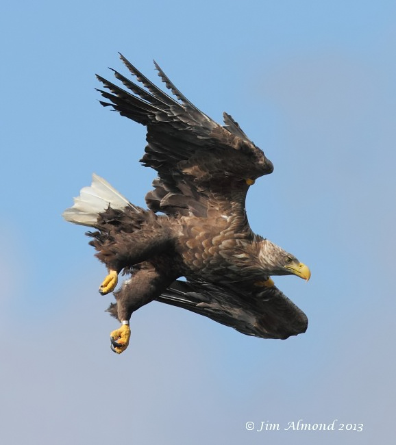White tailed Eagle Mull tagged female dive Mull 14 8 13 IMG_3213