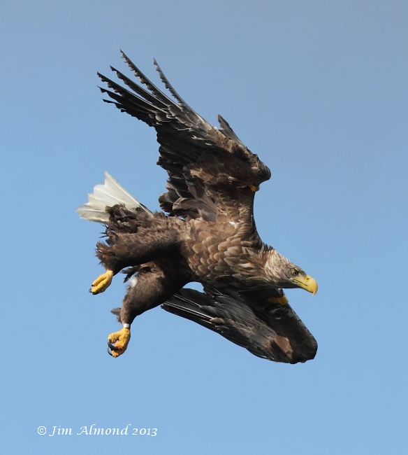 White tailed Eagle Mull tagged female dive Mull 14 8 13 Raw edit IMG_3212