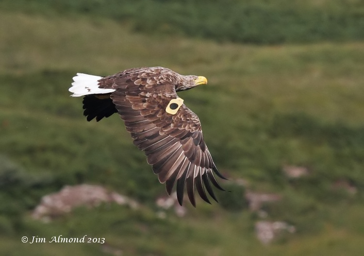 White tailed Eagle Mull tagged female dropped fish  Mull 14 8 13  IMG_3225