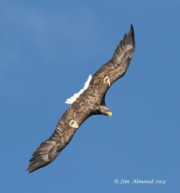White tailed Eagle Mull tagged female upperwing Mull 14 8 13  IMG_3207