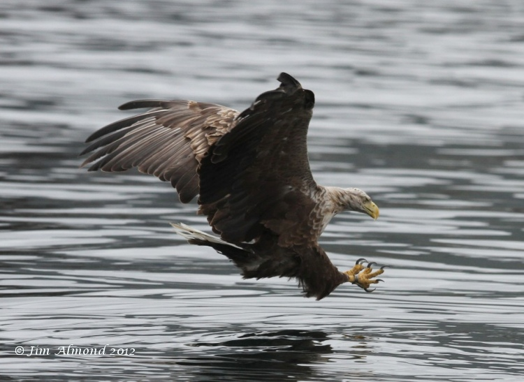 White tailed Eagle about to catch fish Mull 17 7 12 Img_6148