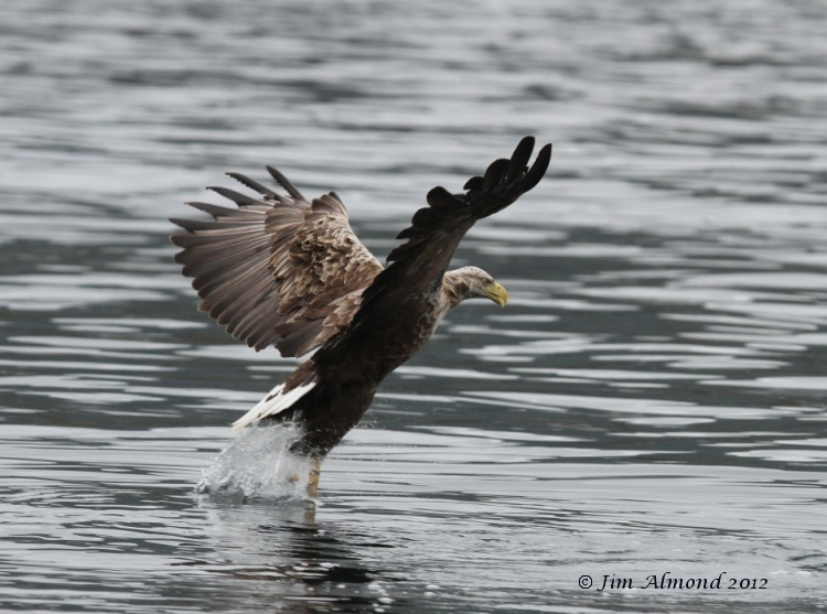 White tailed Eagle catching fish Mull 17 7 12  Img_6149