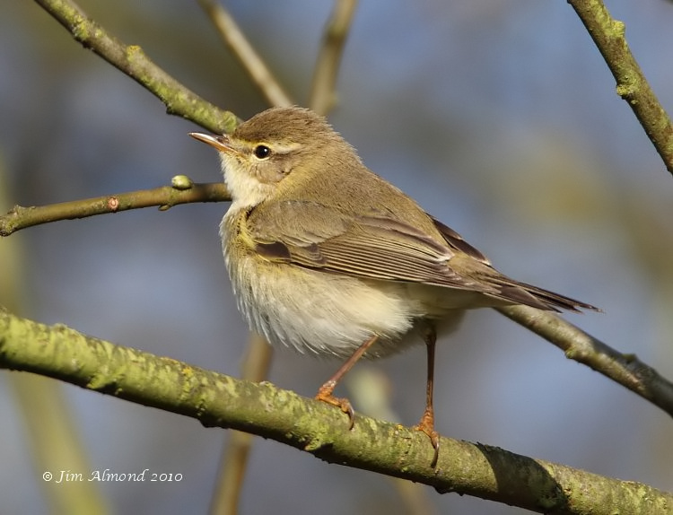 Willow Warbler VP 4 4 10 IMG_0904