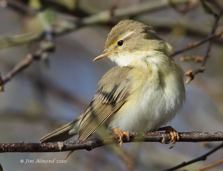 Willow Warbler VP 4 4 10 IMG_0939