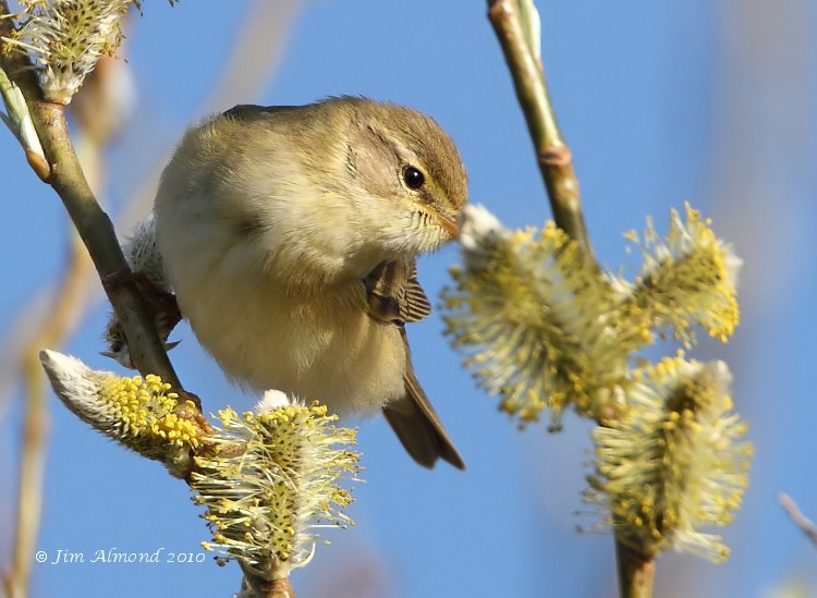 Willow Warbler on Willow VP 4 4 10  IMG_0892