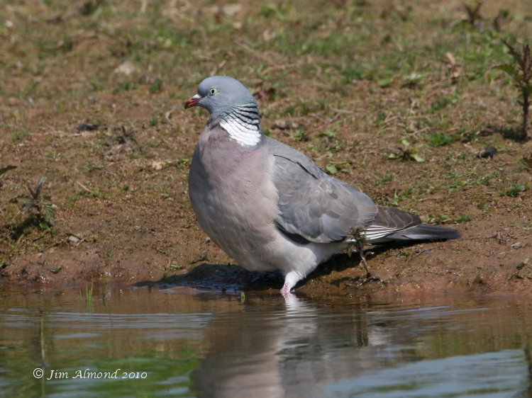 Wood Pigeon drink VP 3 5 07 IMG_4533