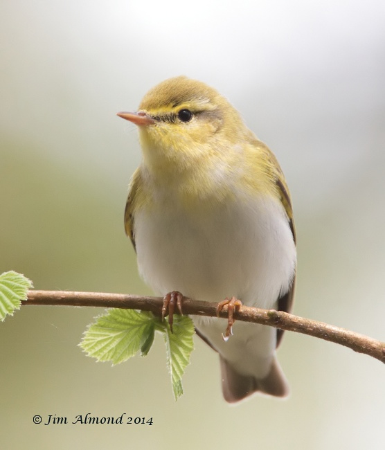 Wood Warbler head on Clunton Coppice 30 4 14 IMG_5332