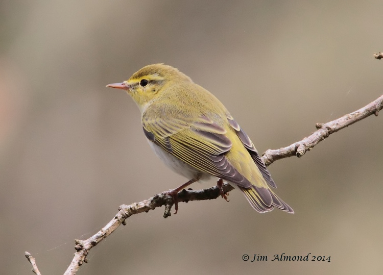 Wood Warbler rear on Clunton Coppice 30 4 14  IMG_5423