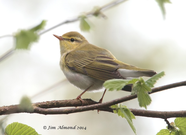 Wood Warbler rear on Clunton Coppice 30 4 14  IMG_5461